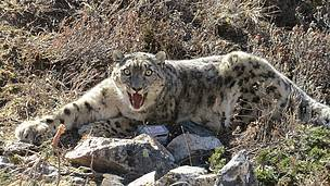 The snow leopard was captured using a modified Aldrich foot snare equipped with satellite/VHF trap transmitters, which is a tried and tested means. The snow leopard came to no harm during the capture.