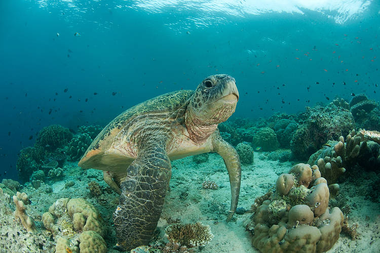 IUCN members call on EU to reduce marine turtle bycatch by requiring the use of Turtle Excluder Devices by tropical wild-caught shrimp fisheries exporting to the EU market