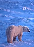 If summer sea ice continues to melt at its current rate, polar bears and some ice-dwelling seals would die out.