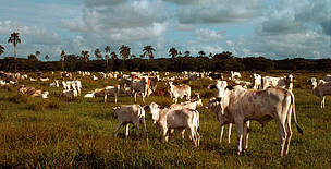 Cattle ranching near South São Paulo State, Brazil