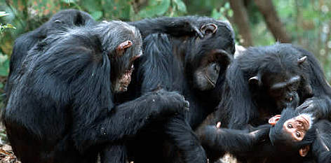 Chimpanzee. Grooming session. Jane Goodall Institute, Gombé Stream National Park, Gombé, Tanzania. rel=