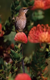Cape sugarbird, endemic to fynbos region and main pollinator of proteaceae flowers, Republic of South Africa.