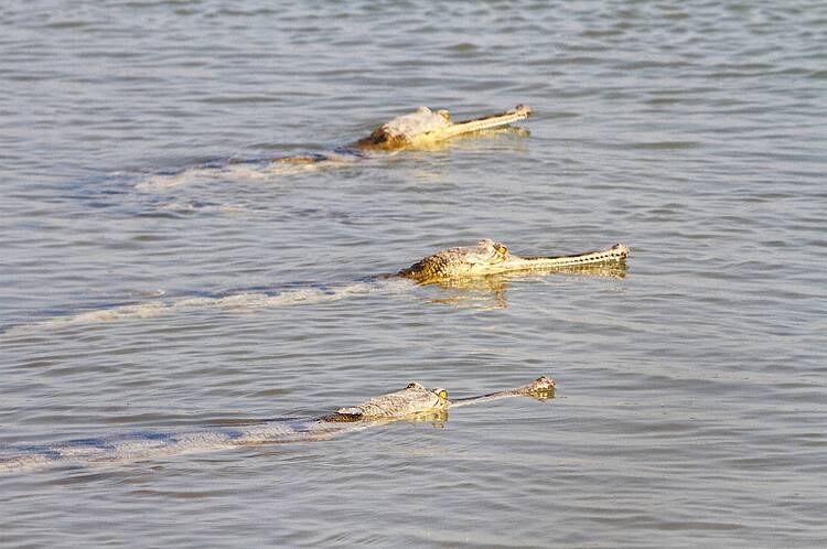 Reintroducing gharials and turtles to the Ganges and Beas