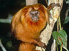 The golden lion tamarin (Leontopithecus rosalia) is just one of the unique inhabitants of the Atlantic Forest.