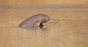 Signs of hope as population of endangered Indus River dolphin jumps in Pakistan