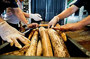 Seized Shipment of Illegal African Elephant Tusks, Thailand Customs officials in Suvarnabhumi discover a shipment of African elephant tusks from Mozambique. Suvarnabhumi is a major hub for both wildlife and drug trafficking, Thailand.
