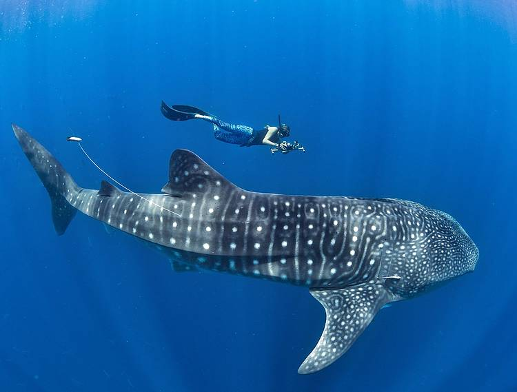 A promising future for the gentle giants of Mafia as we mark global whale shark awareness day