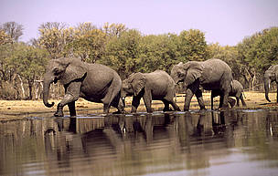 African elephant herd drinking at the Khwai River in the Okavango Delta, Moremi Game Reserve, Botswana