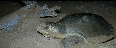 Olive ridley turtles are found on the beaches of French Guiana during the dry season, starting in ... rel=