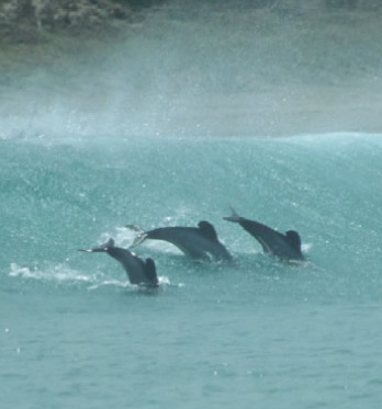 Maui's dolphins, North Island, New Zealand.