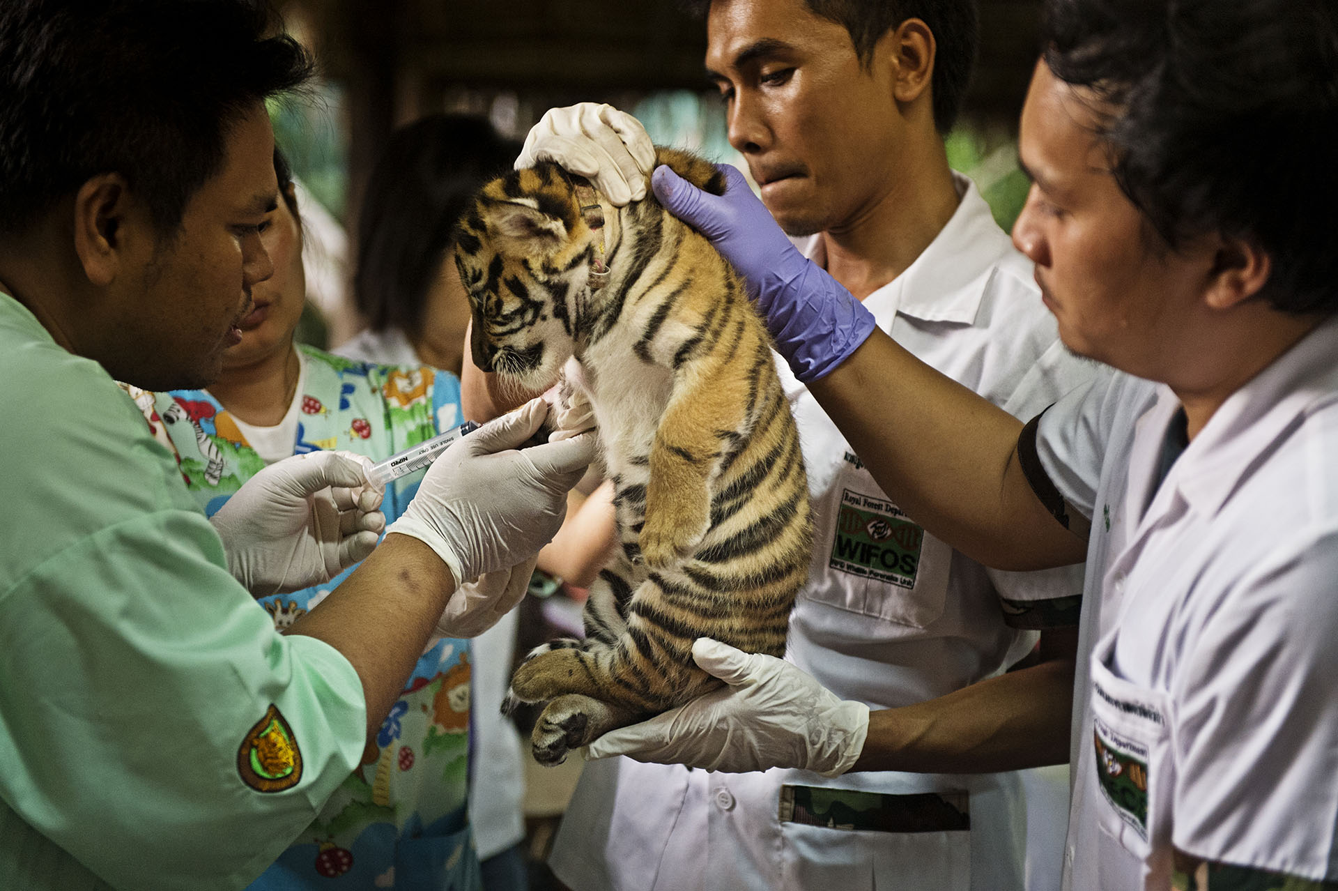 Smuggled Tiger Cub