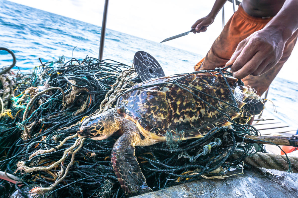 This rare critically endangered Hawksbill Sea Turtle (Eretmochelys imbricata) is entangled in discarded fishing net aka 'Ghost nets' in the near Phi Phi islands in the Andaman Sea, Krabi, Thailand. The Hawksbill Sea turtle is classified by the IUCN as facing an extremely high risk of extinction in the wild in the immediate future.