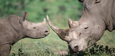 Adult and calf white rhino.