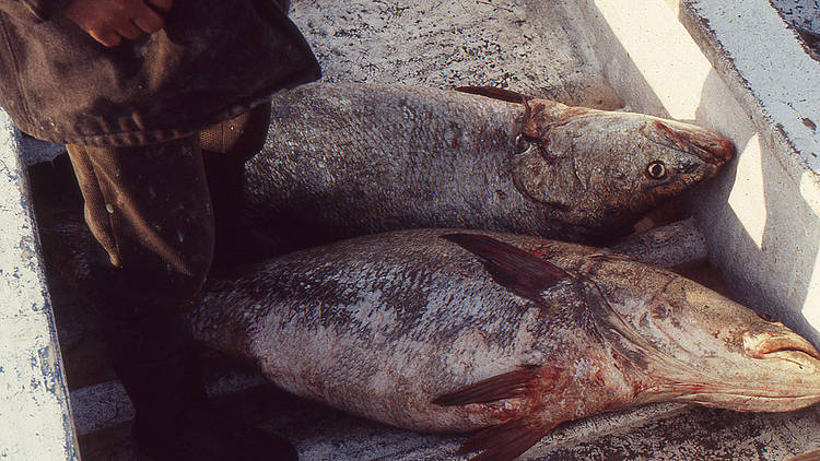 WWF statement on CITES' decision on Totoaba