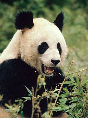 Giant panda in Wolong Nature Reserve in Sichuan Province