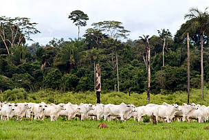 Herd of cattle (Bos taurus) in a pasture with a native forest in the background, in the region of Alta Floresta, state of Mato Grosso, Brazil.
