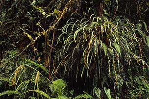 Pasochoa Reserve Moss, ferns & epiphytes growing on tree trunks in a moist tropical forest, Ecuador.