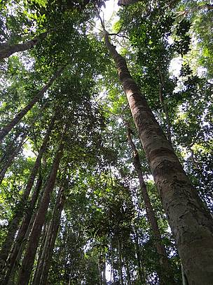 Trees on the climb up Bukit Peninjau, West Kalimantan