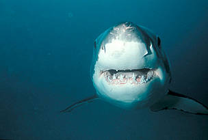 The great white shark (Carcharodon carcharias) lives in most cool coastal waters around the world. The great white is the largest predatory fish on Earth and can grow up to an average of 4.6 metres in length. The IUCN Red List of Endangered Species lists the great white as