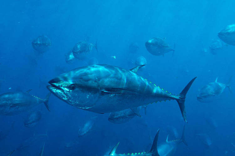 Resilient Tuna Populations for Human Benefit and Ocean Health