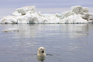 Polar bear (Ursus maritimus) swimming in the water in front of an iceberg, Beaufort Sea, Arctic Ocean, Alaska