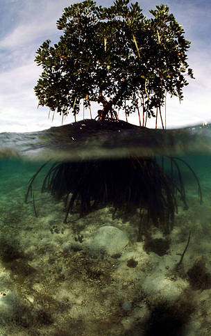 Mangroves build their own environment with its intricate root system that traps sediment.