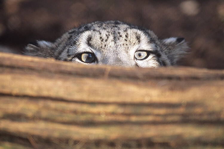 Mongolia's confirms the number of snow leopard population in the country